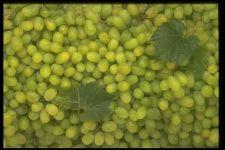 Зеленый виноград