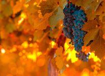 Обрезка винограда осенью обои