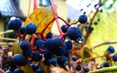 Укрытие винограда