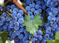Черный виноград фото