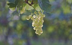 Белый виноград, фото обои фотография