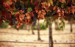 Укрытие винограда зимой