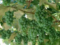 Незрелый виноград фото