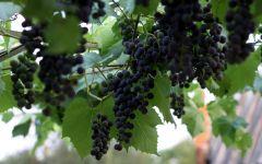 Уход за виноградом обои