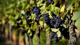Как вырасти виноград?