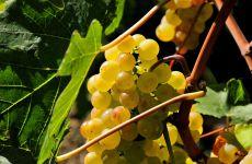 Виноград посадка и уход, фото обои фотография