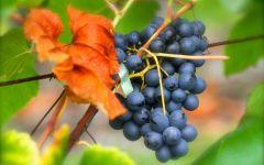 Гроздь черного винограда фото