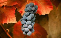 Уход за виноградом осенью фото