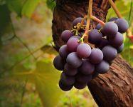 Зимовка винограда обои