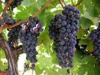 Сладкий виноград фото