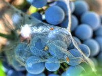 Обработка винограда осенью обои