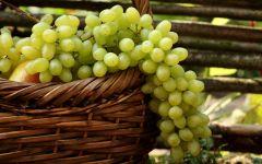 Белый сорт винограда фото