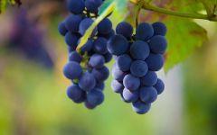 Свежий виноград обои