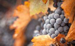 Как ухаживать за виноградом осенью?