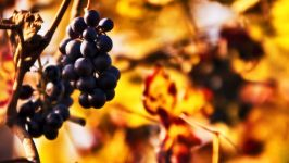 Виноград поздний фото