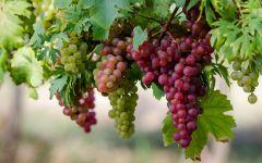Растение виноград фото