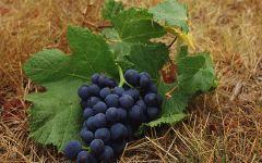 Гроздь винограда в траве