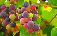 Созревание винограда обои