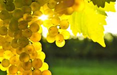 Золотой виноград фото