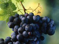 Сорт темного винограда фото