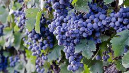 Мелкий виноград фото