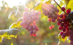 Виноград на кусте
