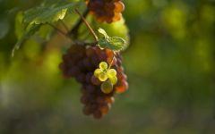 Недозрелый виноград, фото обои фотография