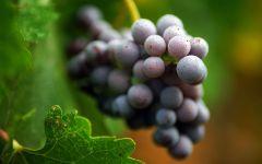 Виноград плодоносит, фото обои фотография