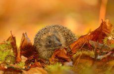 Ежик в опавшей листве, обои фото фотография