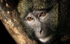 Мартышка Аллена (Allenopithecus nigroviridis)