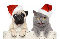 Британская кошка и мопс