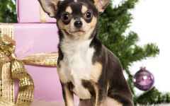Чихуахуа фото, чихуахуа самая маленькая порода собак мире - чихуахуа, происхождение породы, изображения те-чи-чи времен тольтеков, название порода получила от местности, где она обитала Чивава, первый стандарт породы популярность, фото чихуахуа породы собак