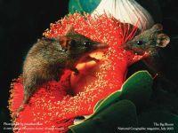 Гаитянский щелезуб (Solenodon paradoxus) фото