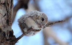 Обыкновенная летяга (Pteromys volans) фото