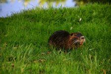 Нутрия в траве