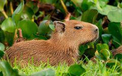 Капибара в зарослях травы