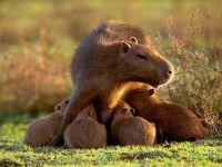 Капибара с детенышами фото