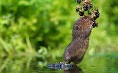 Водяная крыса ест ягоды