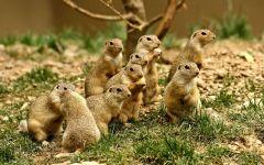 Группа мексиканских луговых собачек