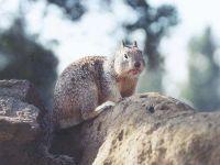 Калифорнийский суслик (Spermophilus beecheyi) фотография