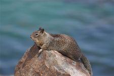 Калифорнийский суслик греется на камне