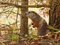 Седой сурок (Marmota caligata)
