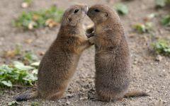 Седые сурки (Marmota caligata)