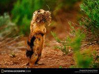 Аляскинский сурок (Marmota broweri)