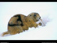 Аляскинский сурок (Marmota broweri) на снегу