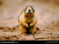 Длиннохвостый сурок (Marmota caudata)