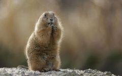 Красный сурок (Marmota caudata)