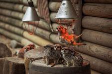 Сурикаты греются под лампой в зоопарке фото