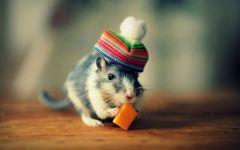 Крысенок в шапочке
