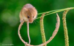 Мышь малютка фото
